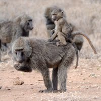 Collective movement in wild baboons