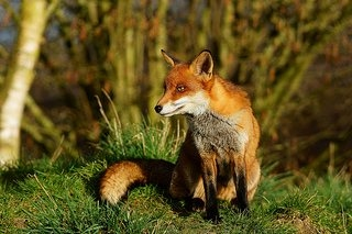 young fox looking to the right