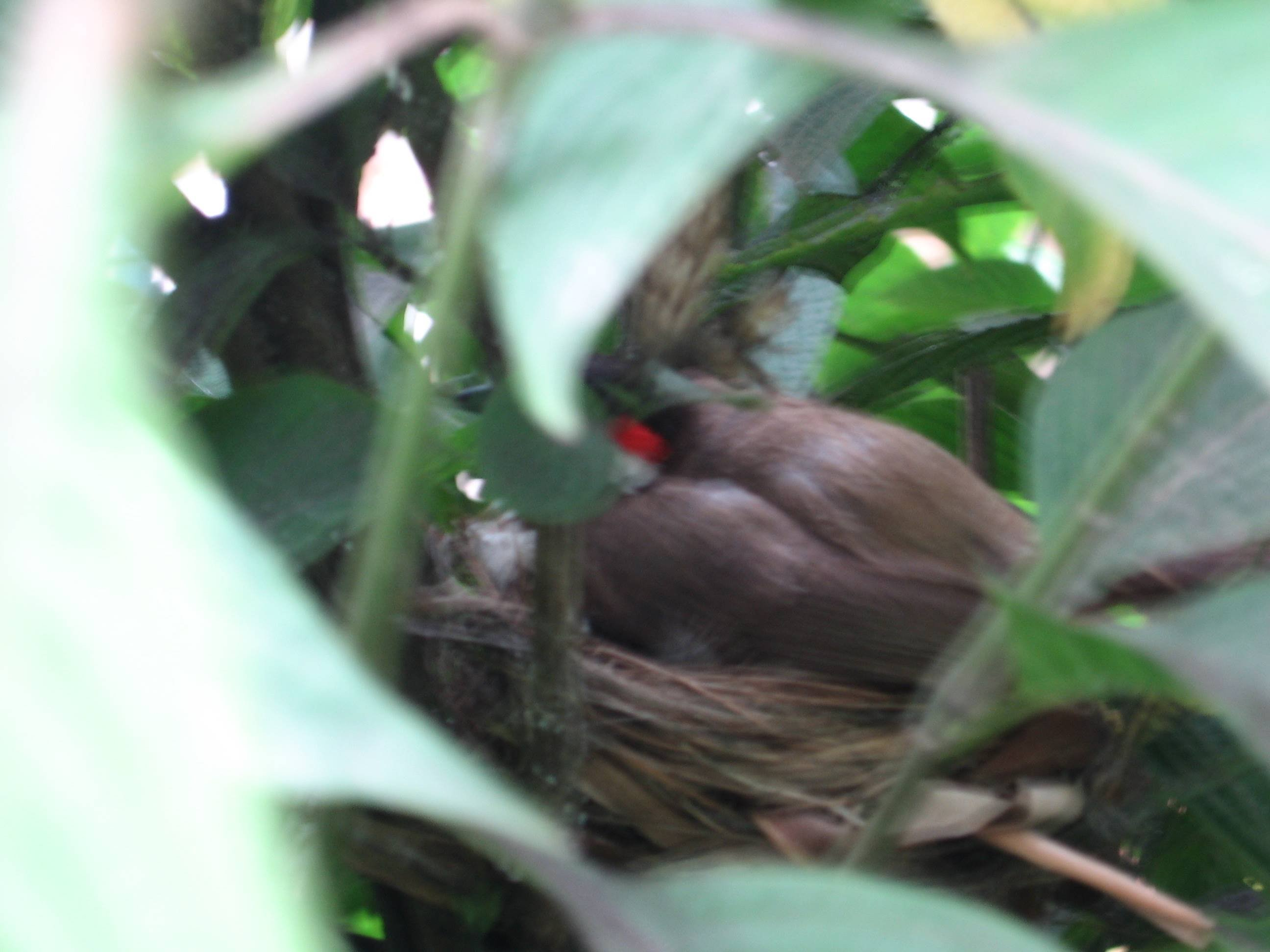 red whiskered bulbul on nest