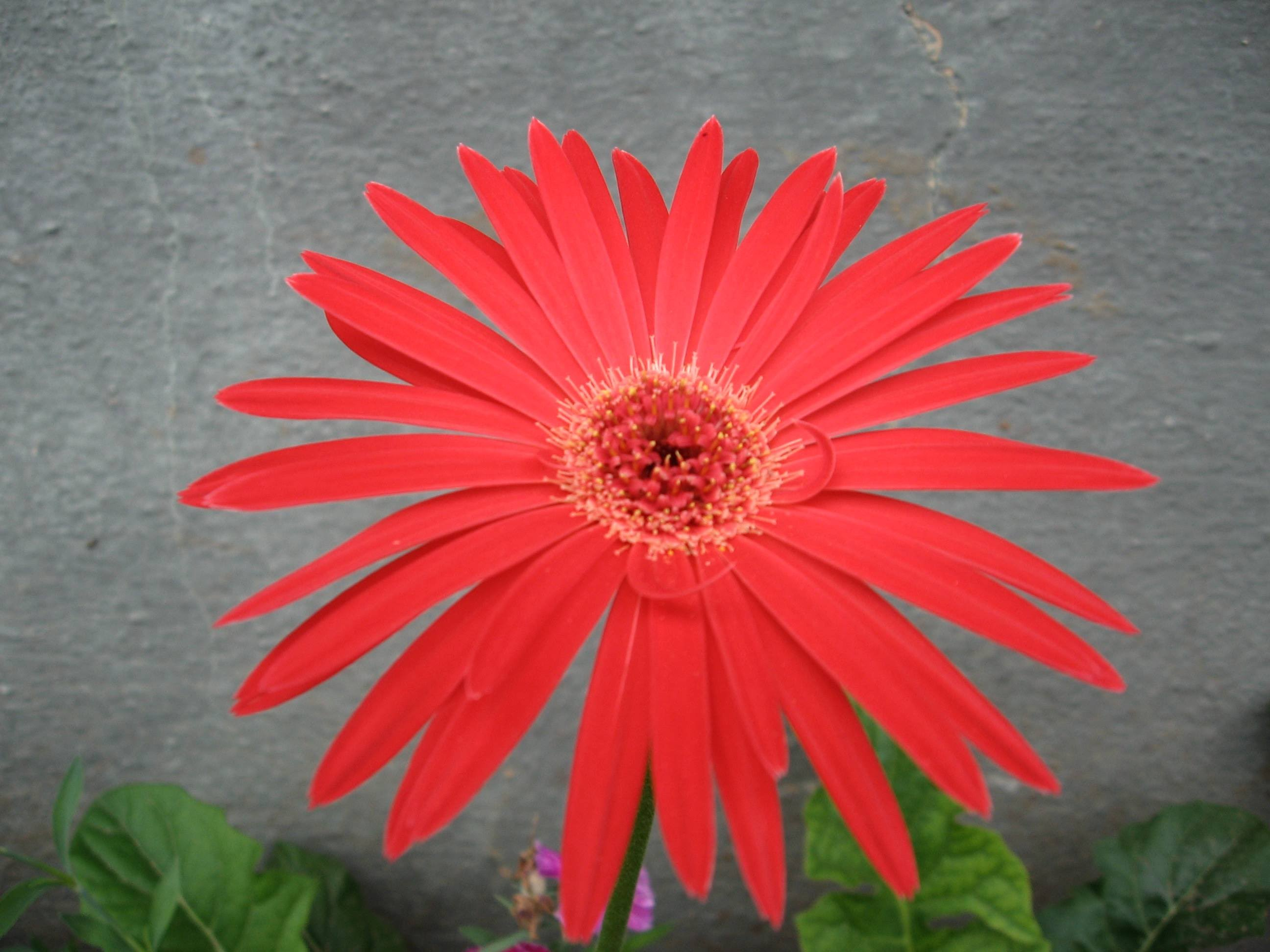 Red Zerbera flower