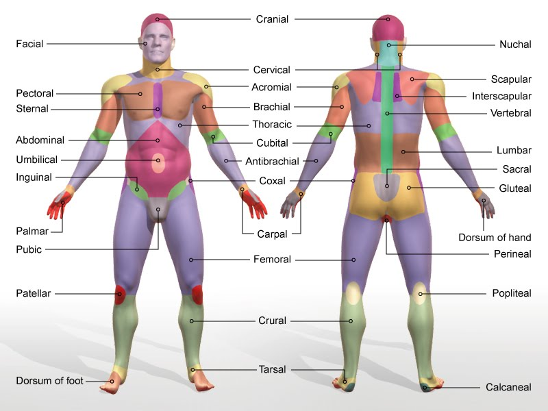 Organization Of The Human Body A Smiths Anatomy Physiology Page