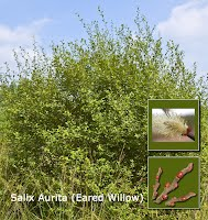 Eared Willow