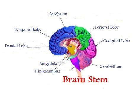 Brain Stem The Human Brain Autism
