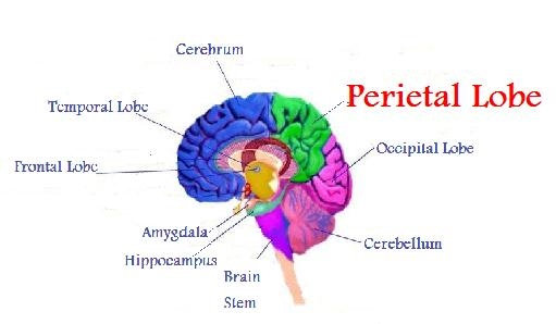 Parietal Lobe - The Human Brain & Autism