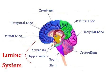 Limbic system the human brain autism limbic system ccuart Images