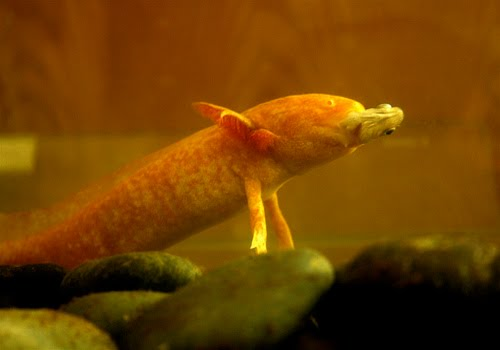 Feeding habits axolotl for Fish that eat other fish