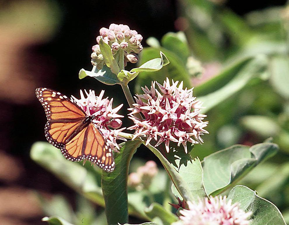 Asclepias speciosa with butterfly