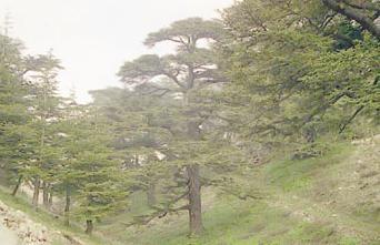 غابة الألفية : مهد الارز وتاريخه ورمز لبنان الأول ...... 454545