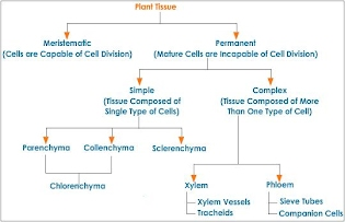 http://www.tutorvista.com/content/science/science-i/tissues/classification-plant-tissues.php