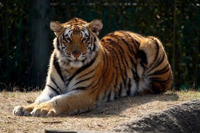 Climate Change Bengal Tiger