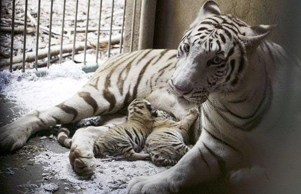 the fight for survival of the white tigers If tigers can survive and breed well in captivity, then perhaps more can be  introduced to the wild when safe habitat becomes available yet that system isn't .