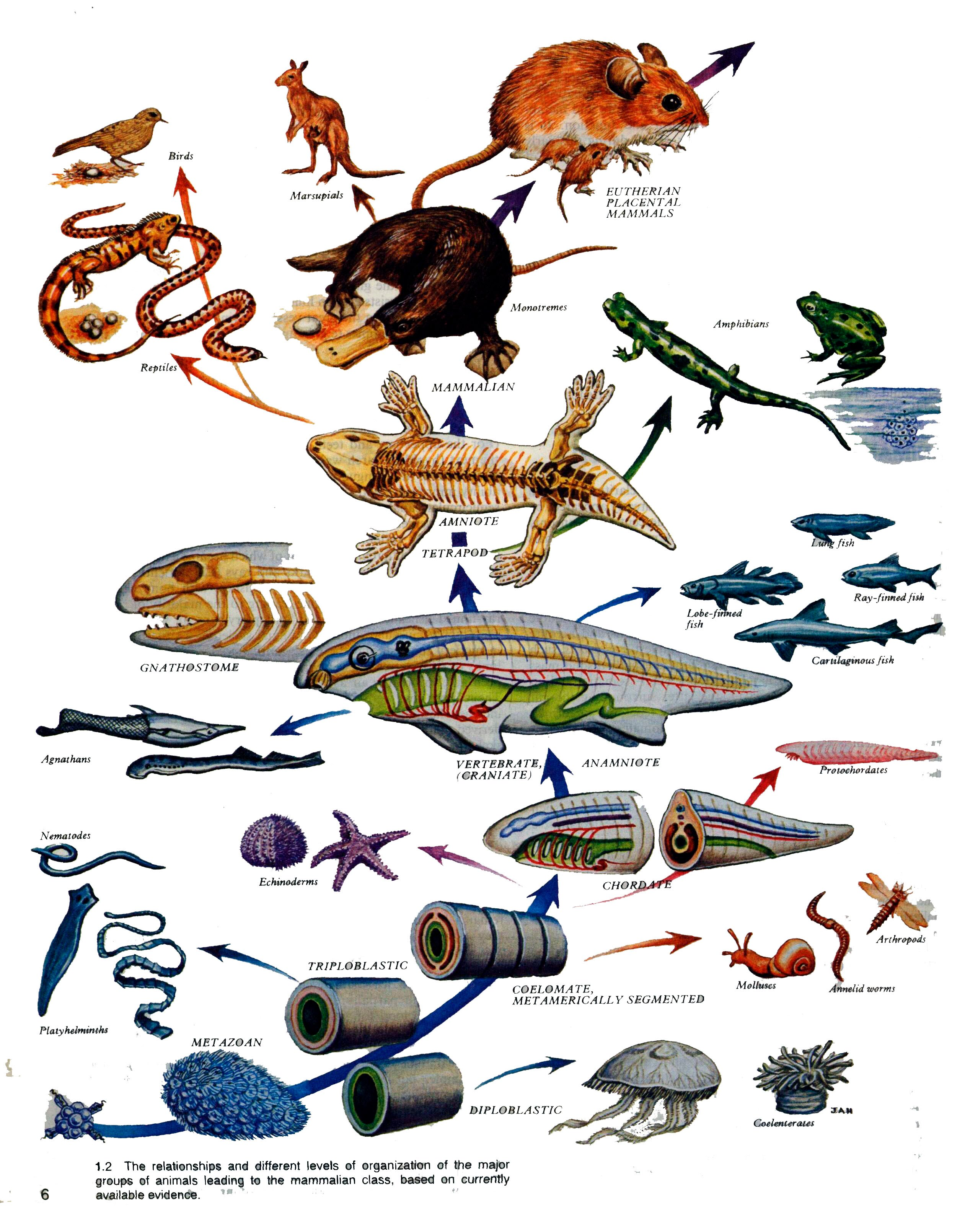 a research on the evolution of land animals To further investigate the time of colonization of land by animals, we sequenced two nuclear genes, glyceraldehyde-3-phosphate dehydrogenase and enolase, in representative arthropods and conducted phylogenetic and molecular clock analyses of.