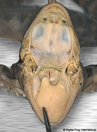 Frog Dissection - BioPeeps