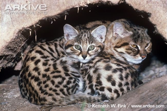 Survival Adaptations - Black Footed Cat