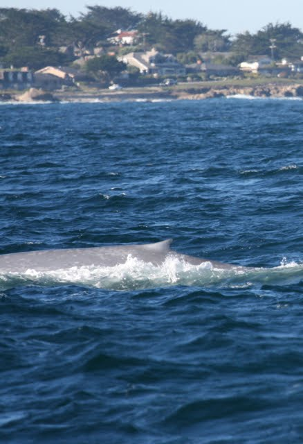 Fun Facts About Blue Whales - Blue Whale Project