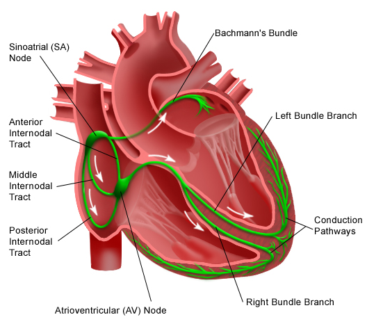 Human heart anatomy diagram electrophysiology search for wiring electrophysiology cardiac physiology rh sites google com heart diagram without labels heart diagram test ccuart Choice Image