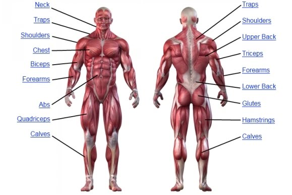 Upper Body Muscle Groups Body Training And Exercise