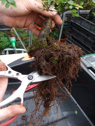 How To Root Prune And Re Pot Your Tree Bonsai Benjie