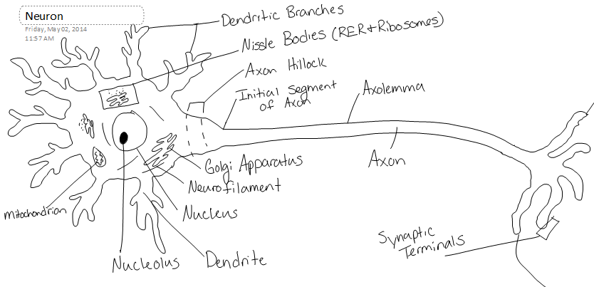 Neuron Structure And Classification
