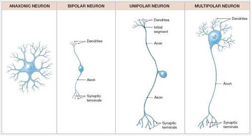 Neuron Structure And Classification Brooke Hamilton Neural Tissue