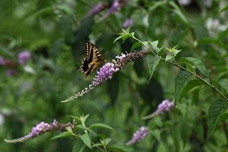 buddleia japonica butterfly