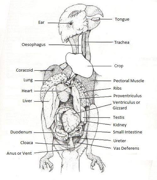 Internal Anatomy Budgiezforall