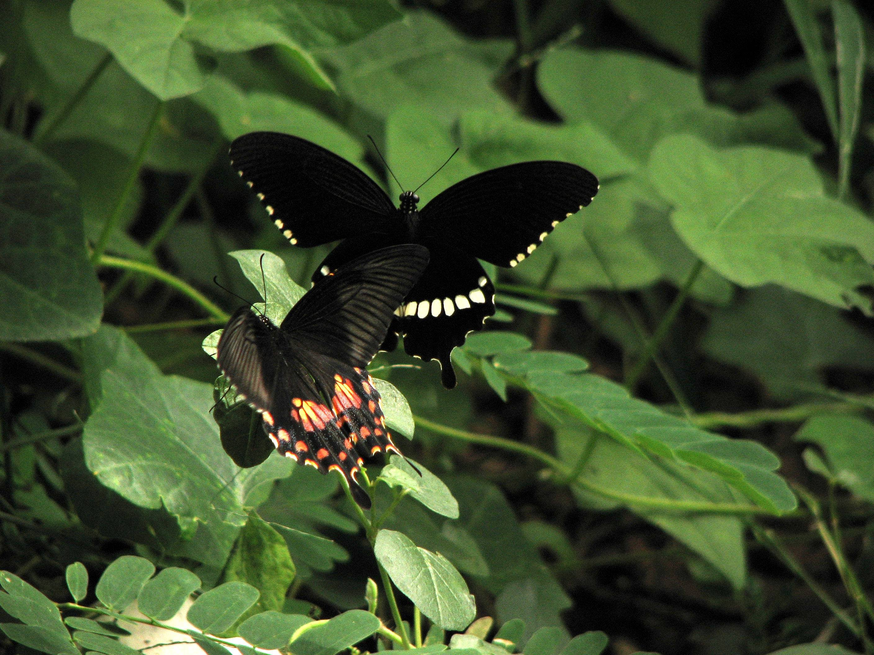 Common mormon female butterfly