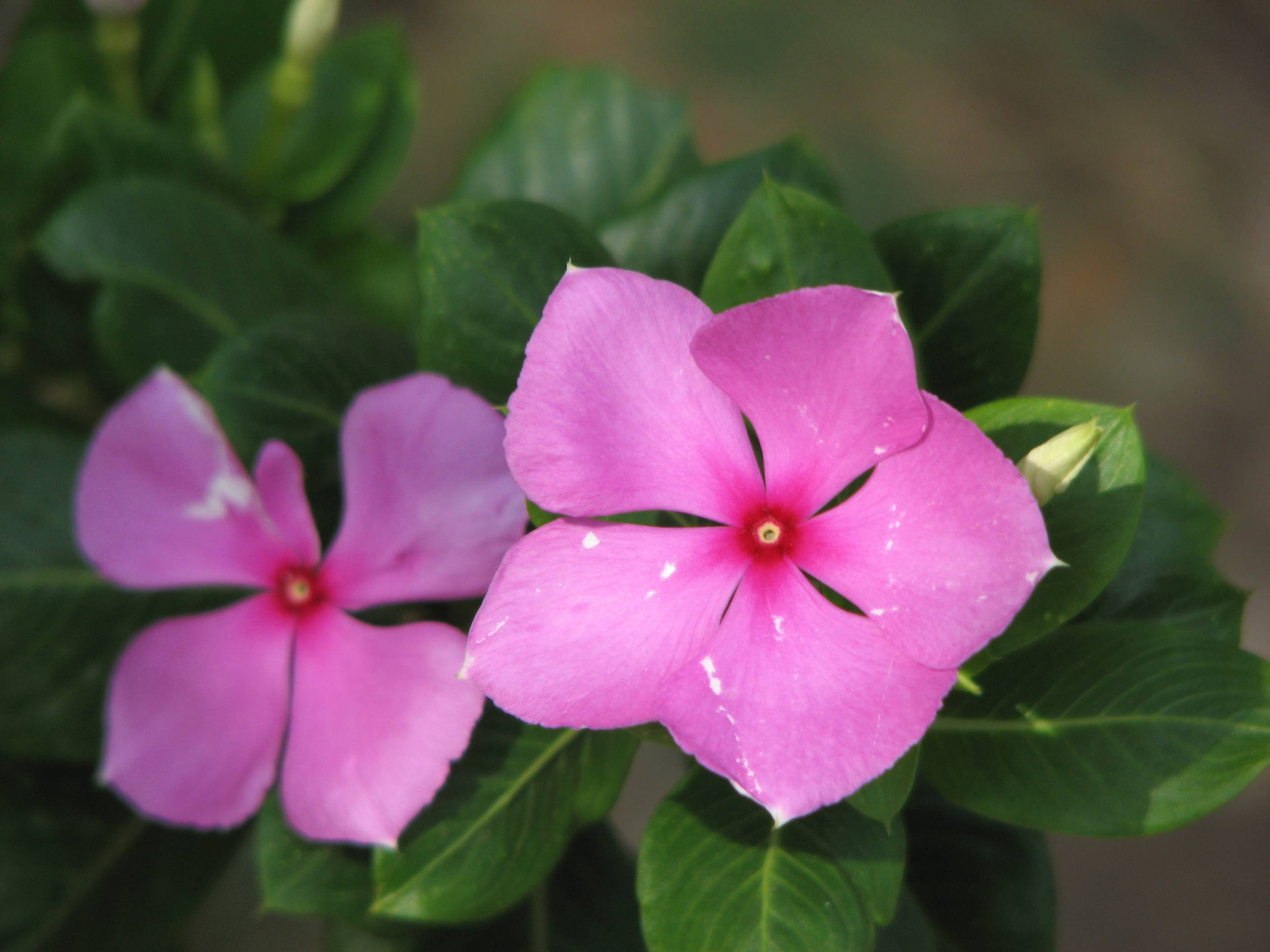 Flowers that start with p euffslemani pink flowers beginning with a 22 high resolution wallpaper minnie root ruellia rosa periwinkle p jpg mightylinksfo