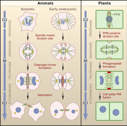 Venn Diagram Mitosis In Animal And Plants Electrical Work Wiring
