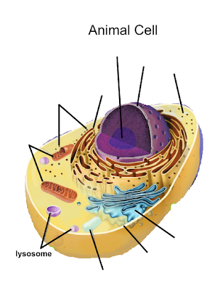 Lysosome cell organelles they also break down old cell parts and release the substances so they can be used again lysosomes are only found in animal cells ccuart Choice Image