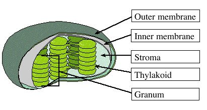 Chloroplast great grade 8 cells this is a labeled diagram of the chloroplast ccuart Images