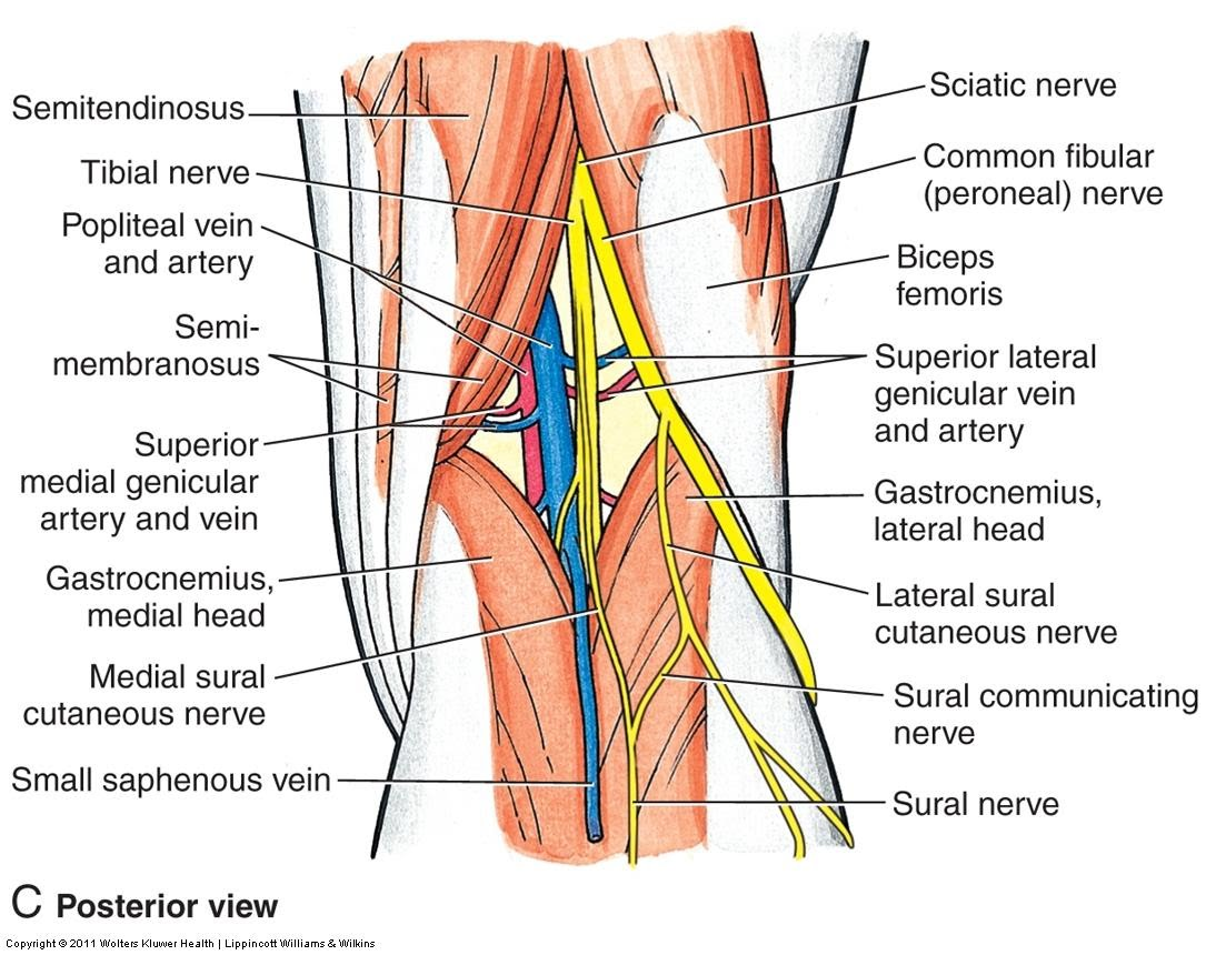 Diagram of arteries in knees new wiring diagram 2018 the knee by haleigh chapter 8 joints hmsl major arteries of the knee bones in knee arteries of knee and thigh on diagram of arteries in knees pooptronica