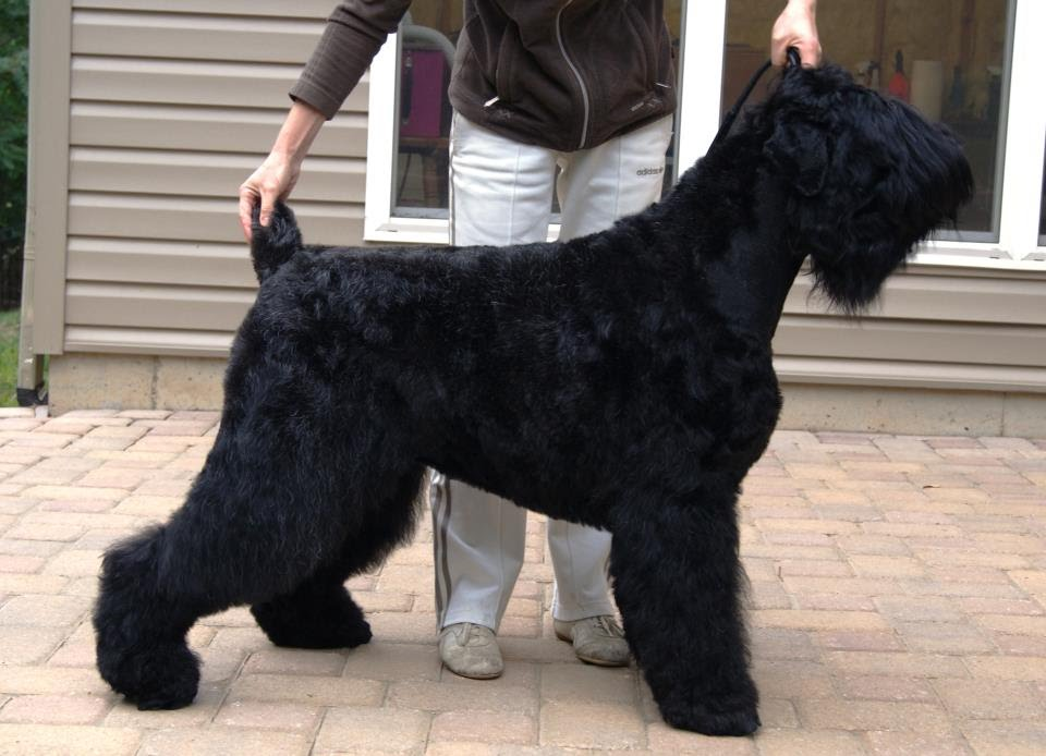 Growth Chart Black Russian Terriers At Cherryhills