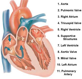 The 4 chambers of the heart - Circulatory System