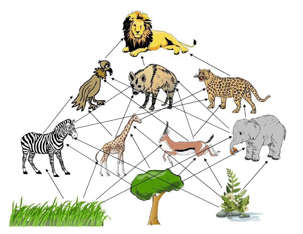 Lion Food Web Gallery