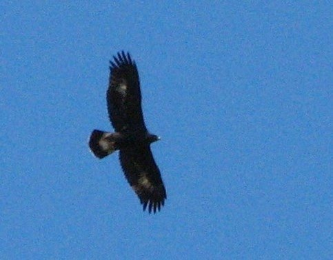 Golden Eagle at Mahogany Rock