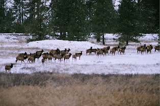 Elk passing through in November
