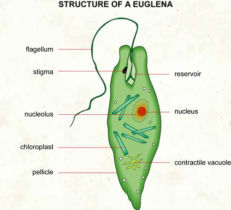 single celled organisms examples
