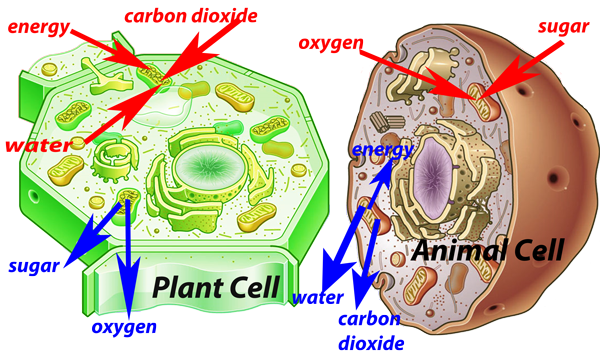 3.3 Plant Cells - Year 8 Science