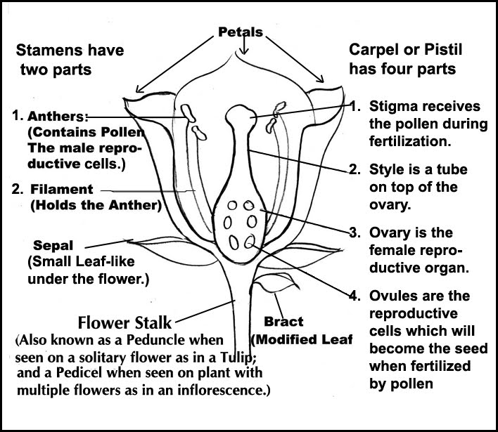 3.7 Anatomy of a Flower - Year 8 Science