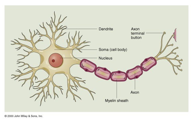 Nerve cell diagram labeled wiring diagram section 1 how nerve cells work cuneurons rh sites google com human nerve cell labeled diagram nerve cell diagram simple ccuart Image collections
