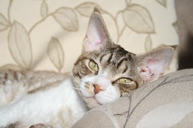 Chocolate Silver Tabby and White Devon Rex