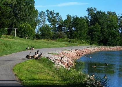 Canada Geese Patrols on Duty in Albion