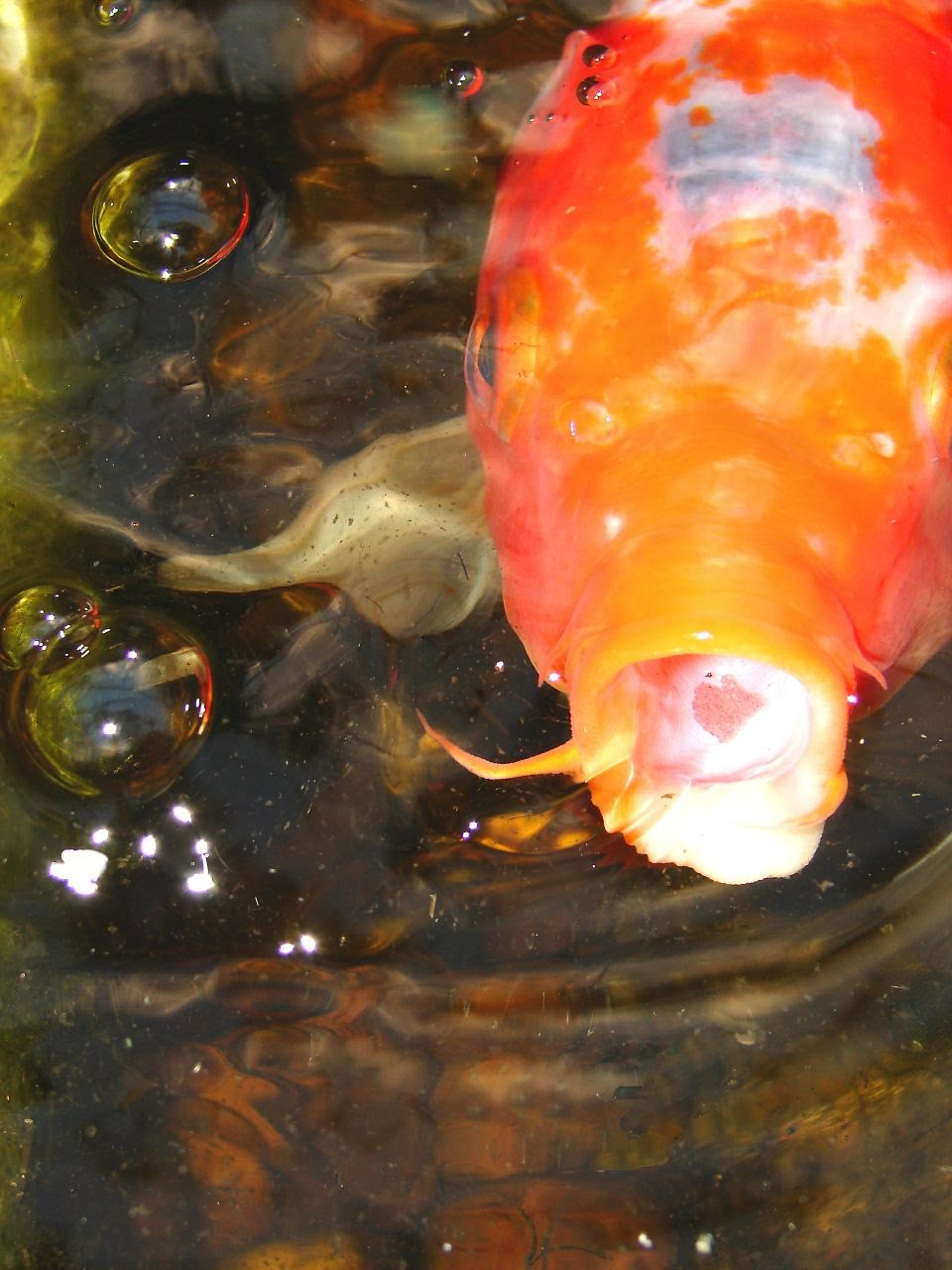 Breedingkoi discusfishkeeeper for Koi reproduction