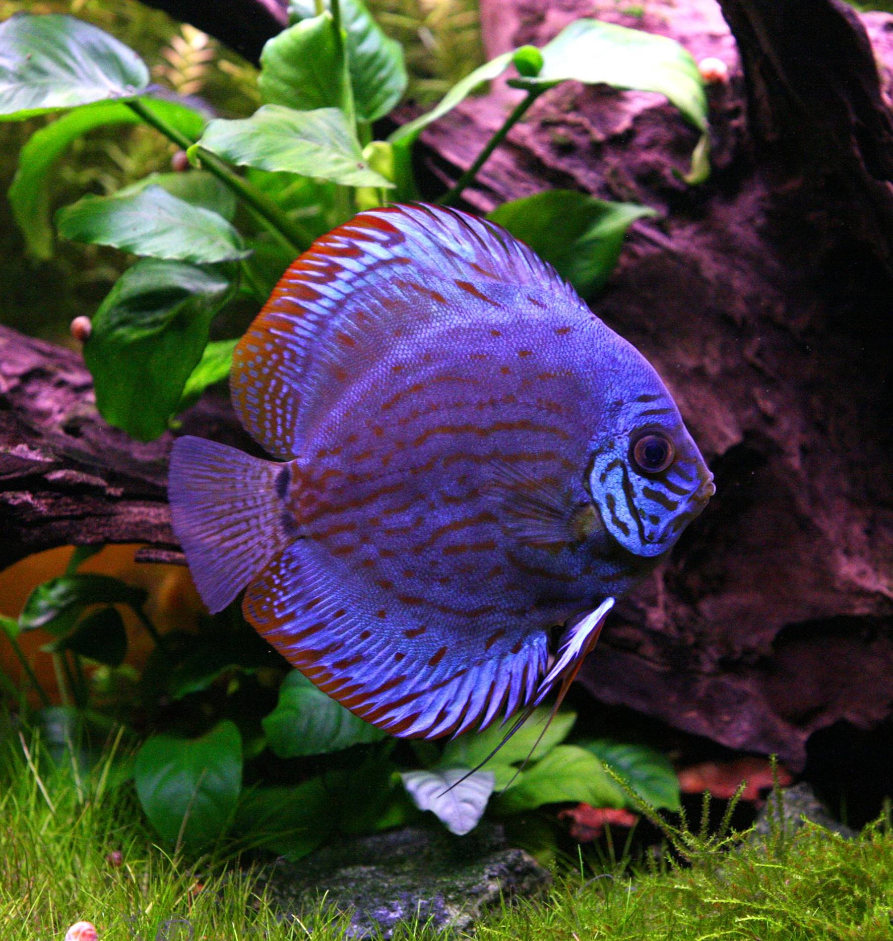 Discusfishkeeeper for Keeping discus fish