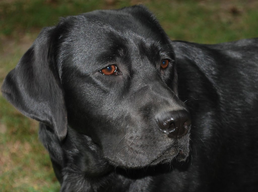 Labs And Friends Dog Rescue