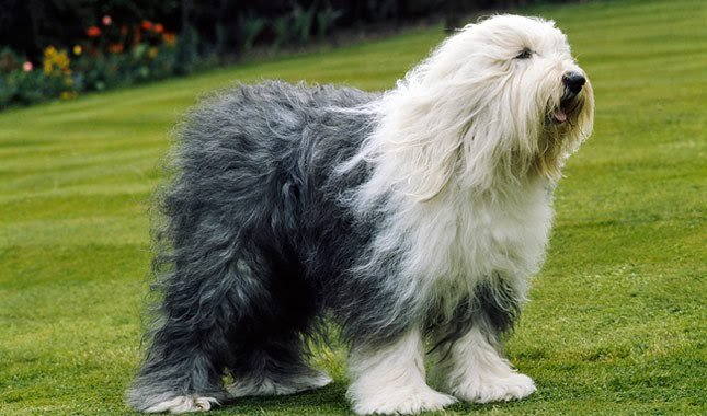 Old English Sheepdog Rescue - Dog Rescue Network Resource Center