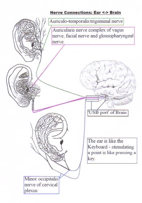 Detailed nerve connections between ear and brain drchrisporter1 detailed nerve connections between ear and brain ccuart Images