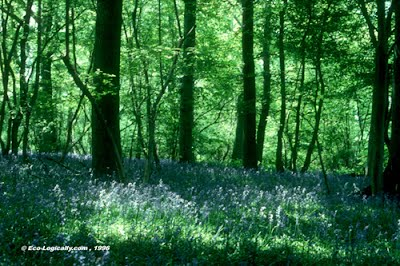 Bluebell wood in Sussex near Lewes