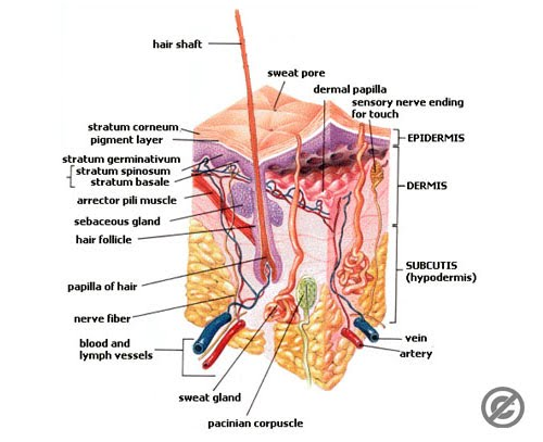 3. Accessory Organs of the Skin - EHS Anatomy & Physiology (A)